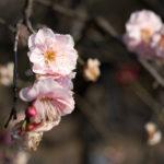 梅ヶ丘の羽根木公園で開催されている世田谷梅まつりに行ってきた