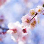 春はすぐそこ!青空の下で梅と早咲きの桜を撮ってきた