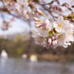 石神井公園の桜を60ミリマイクロと35ミリの広角レンズで撮影