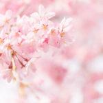 桜の撮影はマクロレンズがあればずっと楽しくなる