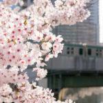 LEICA DG SUMMILUX 25mm/F1.4で始業前に朝の桜を撮影