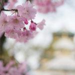 日の沈む大阪城公園で満開の桜を全力で味わってきた