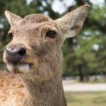 春の奈良公園で鹿の写真ばかり撮ってきた