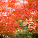 岡山の後楽園は紅葉の名所!出張の合間にたっぷり撮影