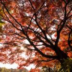 真っ赤に染まる夕暮れの紅葉を逆光、順光それぞれで撮影