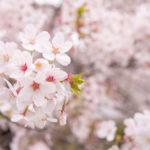 さっぱり桜を撮りに行けない今年の春でございます