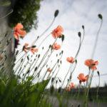 春になると道端で咲いてるオレンジの花の名はナガミヒナゲシ