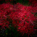巾着田の曼珠沙華!日本一の彼岸花群生地で秋を堪能