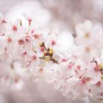 小金井公園の桜が見頃です、誰が何と言おうと満開です