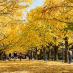 昭和記念公園が黄色に染まる!イチョウ並木が今年も見ごろ
