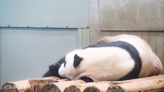 だらけている上野公園のパンダ